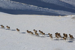 Argali Marco Polo. A flock of sheep Marco Polo in the Tien Shan mountains, in winter Royalty Free Stock Images