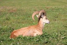 Argali. The mountain ram lies on a grass Stock Photos