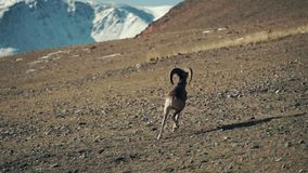 The argali, or the mountain sheep is a wild sheep that roams the highlands of Central Asia, in the Pamirs, in the. Himalayas, Altai, Sayan Mountains of Mongolia stock footage
