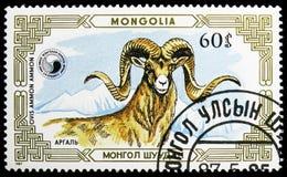 Argali (Ovis ammon), Mountain sheep (Ovis ammon) serie, circa 1987 royalty free stock photography