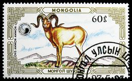 Argali (Ovis ammon), Mountain sheep (Ovis ammon) serie, circa 1987 royalty free stock images
