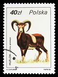Argali (Ovis ammon), Wildlife serie, circa 1986 royalty free stock photos