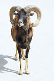 Argali sheep royalty free stock photography
