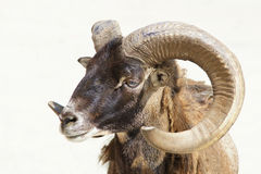 Argali sheep Stock Photography