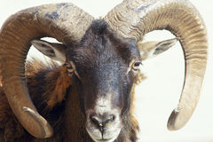Argali sheep Royalty Free Stock Photo