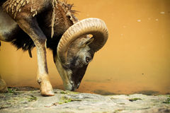 Argali watering Royalty Free Stock Images