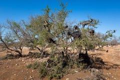 Argan δέντρα και οι αίγες στον τρόπο μεταξύ του Μαρακές και Essaouira στο Μαρόκο Στοκ Φωτογραφίες