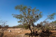 Argan δέντρα και οι αίγες στον τρόπο μεταξύ του Μαρακές και Essaouira στο Μαρόκο Στοκ Φωτογραφία