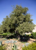 Argan δέντρα στο Μαρόκο Στοκ Φωτογραφίες