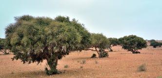 Argan δέντρα στο Μαρόκο Στοκ φωτογραφίες με δικαίωμα ελεύθερης χρήσης