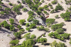 Argan δέντρα (spinosa Argania) σε έναν λόφο. Στοκ φωτογραφίες με δικαίωμα ελεύθερης χρήσης