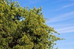 Argan δέντρο με τα κίτρινα φρούτα Στοκ φωτογραφίες με δικαίωμα ελεύθερης χρήσης
