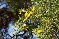 Argan δέντρο με τα κίτρινα φρούτα Στοκ εικόνες με δικαίωμα ελεύθερης χρήσης