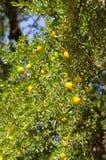 Argan δέντρο με τα κίτρινα φρούτα Στοκ Εικόνα