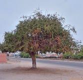 Argan δέντρο στο Μαρόκο Στοκ φωτογραφίες με δικαίωμα ελεύθερης χρήσης