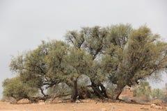 Argan δέντρο Στοκ Φωτογραφίες
