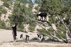 Argan δέντρο (spinosa Argania) με τις αίγες. Στοκ εικόνες με δικαίωμα ελεύθερης χρήσης