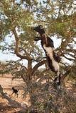 argan δέντρο αιγών Στοκ Εικόνα