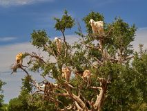 Argan δέντρο, στους κλάδους υπάρχουν πολλές άσπρες αίγες που τρώνε τα φύλλα από τους κλάδους, περίχωρα του Μαρακές, Μαρόκο Στοκ εικόνα με δικαίωμα ελεύθερης χρήσης