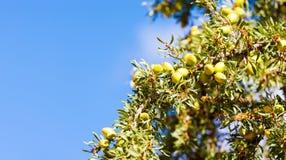 Argan καρύδια φρούτων σε έναν κλάδο των spinos ενός Argan δέντρων Argania Στοκ φωτογραφία με δικαίωμα ελεύθερης χρήσης