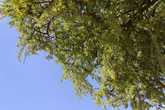 Argan καρύδια Argan στο δέντρο (spinosa Argania). Στοκ Φωτογραφίες