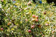 Argan καρύδια Sapotaceae, ανάπτυξη spinosa Argania στο πράσινο δέντρο Στοκ φωτογραφία με δικαίωμα ελεύθερης χρήσης