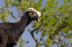 argan μαύρο δέντρο αιγών Στοκ Εικόνες