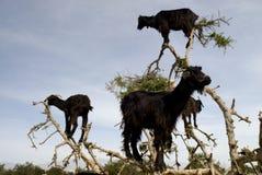 argan μαύρο δέντρο αιγών Στοκ εικόνες με δικαίωμα ελεύθερης χρήσης