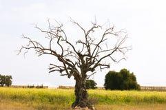 Argan του Μαρόκου δέντρα Στοκ Εικόνες