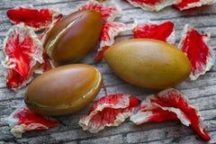 Argan το spinosa Argania φρούτων, καρύδια, αυτοί οι σπόροι χρησιμοποιείται στο cosme Στοκ εικόνες με δικαίωμα ελεύθερης χρήσης
