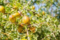Argan φρούτα στο δέντρο Στοκ φωτογραφίες με δικαίωμα ελεύθερης χρήσης