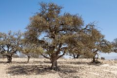 Argan (argania spinosa) Стоковые Фото