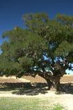 Argan bomen op zand stock foto