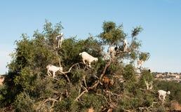 Argan boom en geiten Stock Fotografie