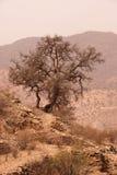argan drzewo Zdjęcie Stock