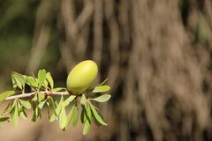 Argan Fruit. The fruit of the Argan Tree (Argania spinosa) hanging on a branch in the mountains around Tafraoute, Morocco stock photos