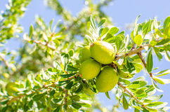 Argan fruit on tree Royalty Free Stock Images