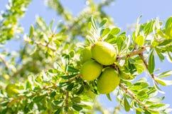 Argan fruit on tree Royalty Free Stock Images