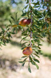 Argan fruit on tree Stock Image