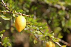 Argan Fruite Royaltyfri Bild