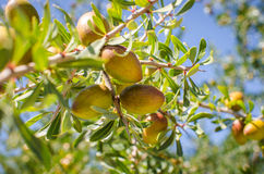 Argan fruits on tree Royalty Free Stock Images