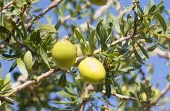 Argan nust auf den Bäumen in Marokko Lizenzfreies Stockbild