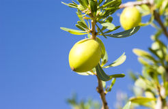 Argan nust on the trees Stock Photos