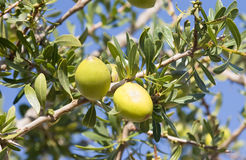Argan nust on the trees in Morocco Royalty Free Stock Image
