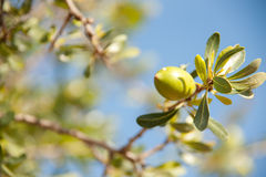 Argan nut. On a branch Royalty Free Stock Image