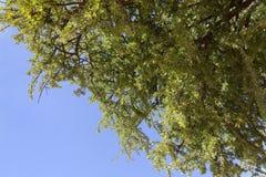 Argan nuts on Argan tree (Argania spinosa). Stock Photos