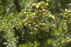 Argan nuts on Argan tree (Argania spinosa). Royalty Free Stock Images