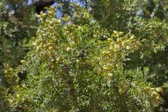 Argan nuts on branches (Argania spinosa). Stock Photo