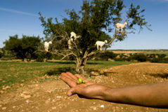 Argan nuts hand goats in tree Stock Image