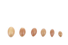 Argan nuts in a row on a white background. Royalty Free Stock Image